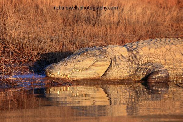 Crocodile Sunset