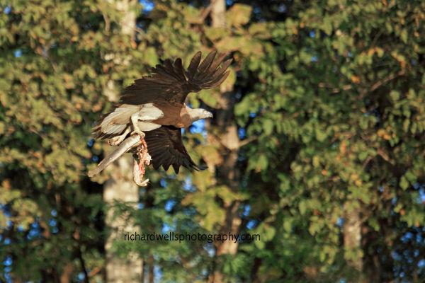 Grey Fish Eagle Flypast...
