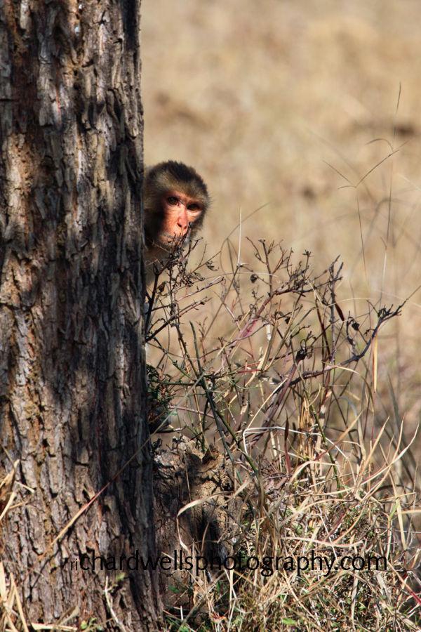 Young Rhesus Monkey
