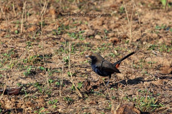 Indian Robin near Satpura