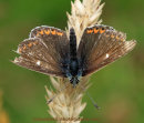 Northern Brown Argus, Linn Dean