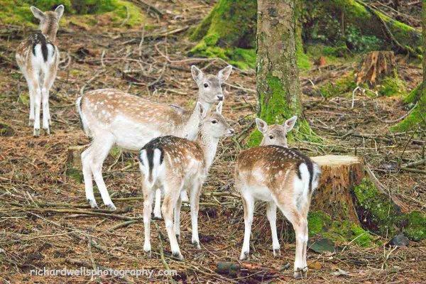 Fallow deer, Mull