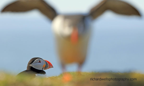 Attack of the Giant Puffin, Lunga