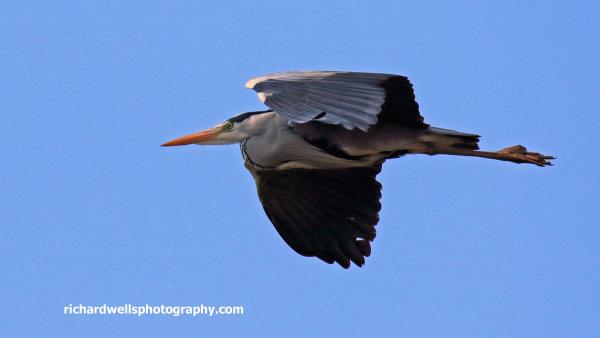 Grey Heron, Loch Scridain, Mull