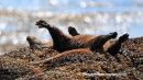 Otter, Loch Beg, Mull