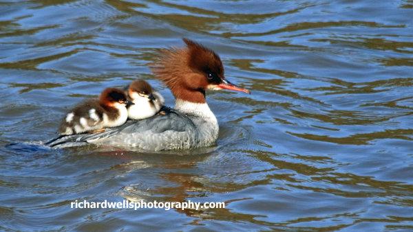 Goosander and chicks, river Esk, Musselburgh