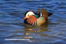 Mandarin Duck, River Esk, Musselburgh