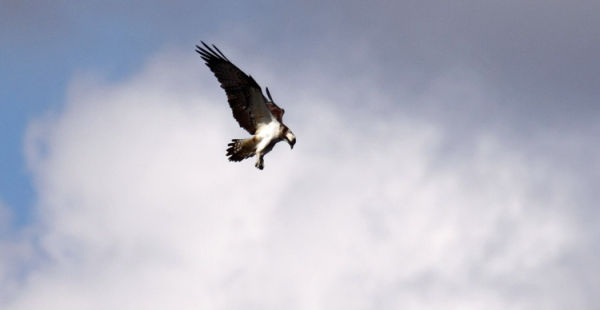 Osprey Hunting - Loch of the Lowes