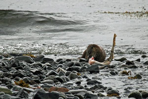 Otter Dining, Loch Scridain