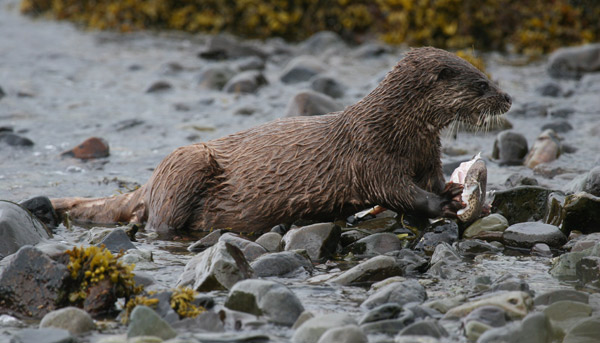 Otter Lunching