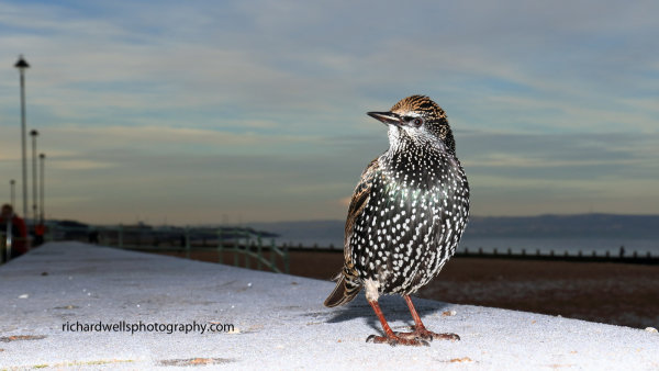 Starling on Frost