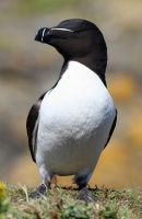 Razorbill looking Sharp
