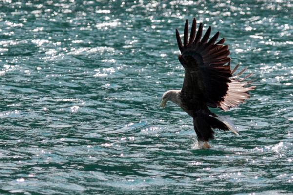 Skye Sea Eagle at work....