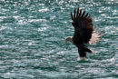 Skye Sea Eagle at work....