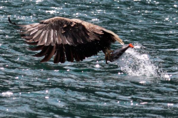 Sea Eagle Takeaway......