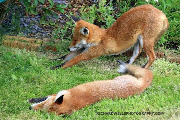 Foxes taking it easy