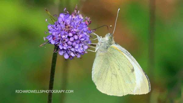 Butterfly Saltoun Wood