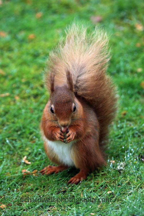 Rd Squirrel