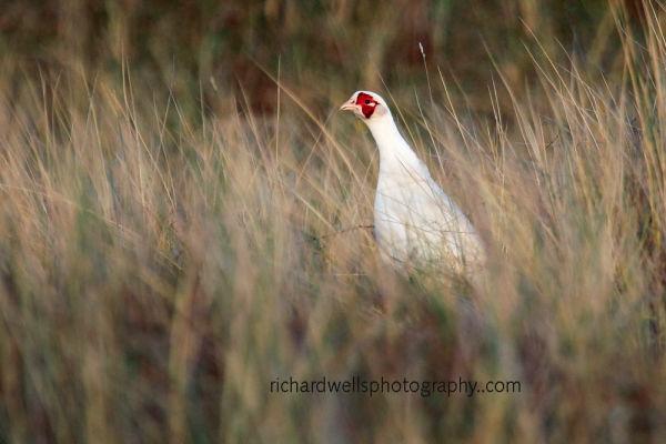White Pheasant!?