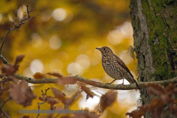 Autumn Thrush, Dunkeld.