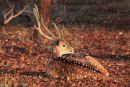 Spotted Deer Stag