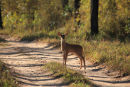 Spotted Deer Fawn