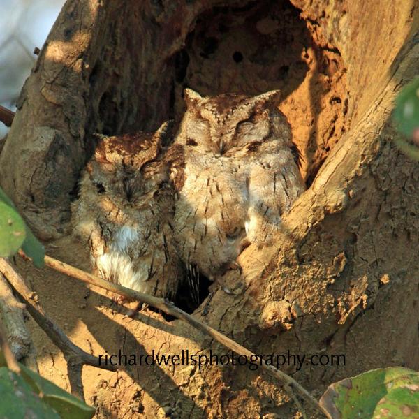 Collared Scops Owls