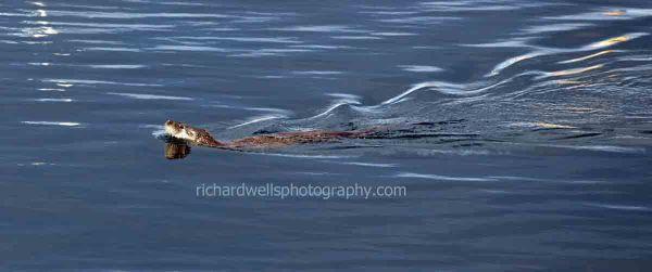 Tobermory Otter