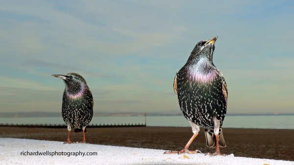 Starling Twosome