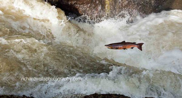 Salmon - falling short...