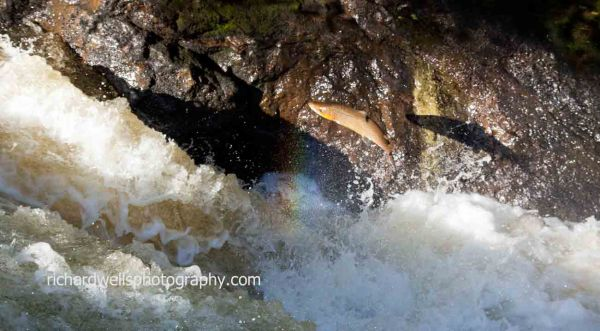 Rainbow and Shadow Salmon
