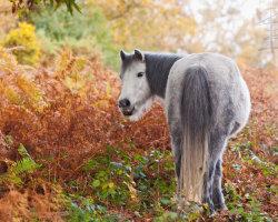 Autumn Wild Pony