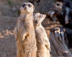 Duelling Meerkats