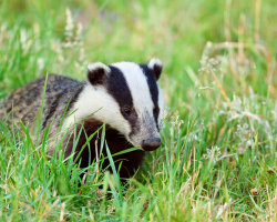 Badger Approaches