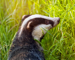 Badger in the evening sunlight