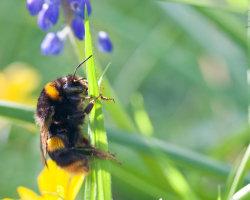 Bee on Grass