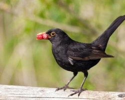 Blackbird with Berries