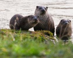 Otter Family in Blandford Forum