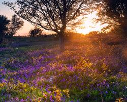 Bluebells Sunset
