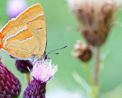 Brown Hairstreak (Female)