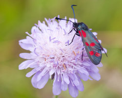 6-Spot Burnett Moth