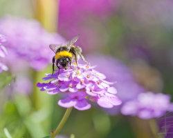 Bumblebee Bokeh