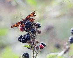 Comma on Berries