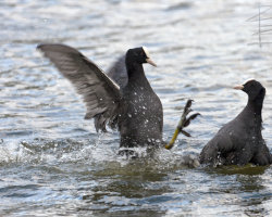 Coot Attack!