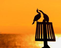 Cormorant Couple 2
