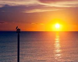 Sundown Cormorant