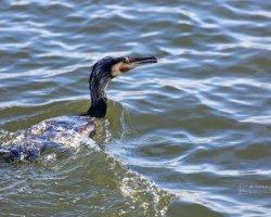 Cormorant in Sea