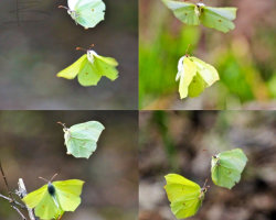 Brimstone Courtship Dance