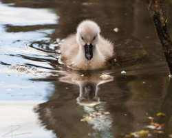 Reflections of a Cygnet