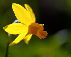 Daffodil and Sunlight